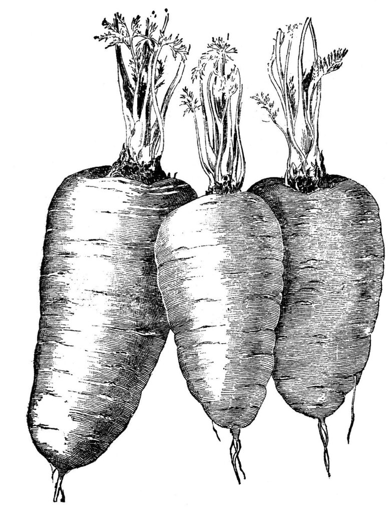 Baby Carrots Clipart