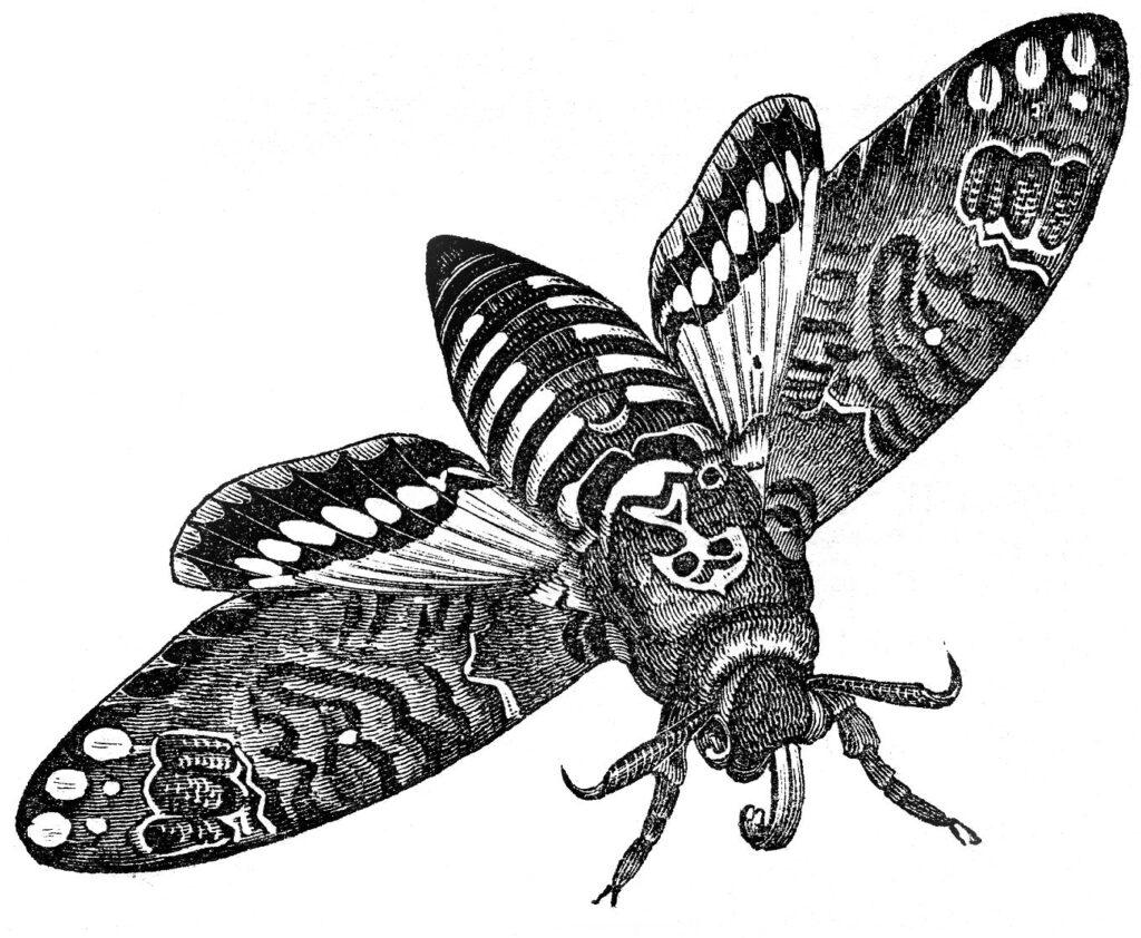 vintage black white moth clipart