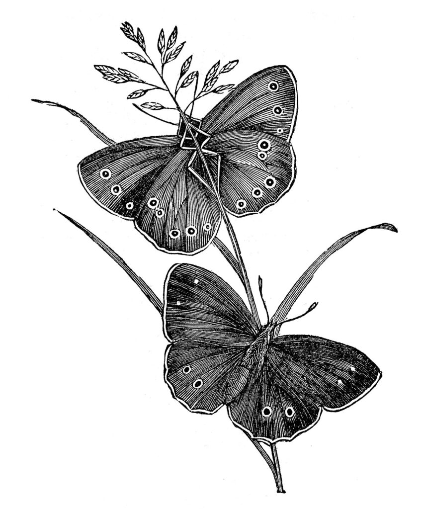 butterfly pair black white image