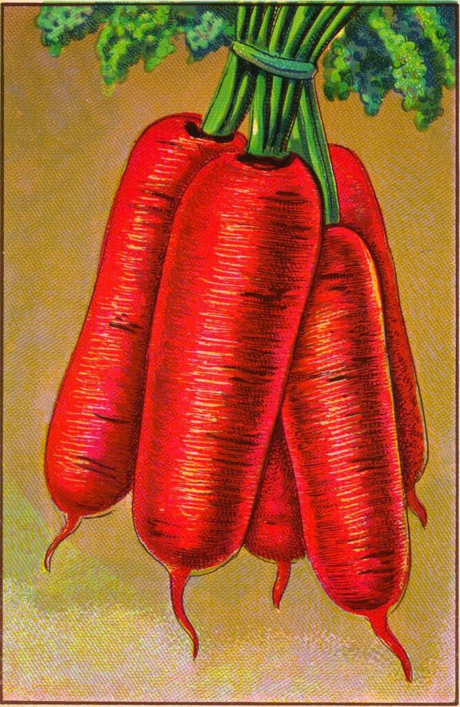 Carrots Clipart