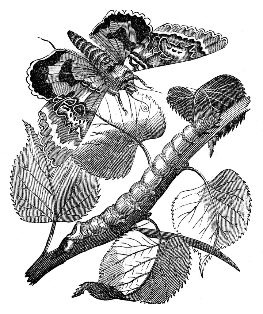vintage moth caterpillar printable image