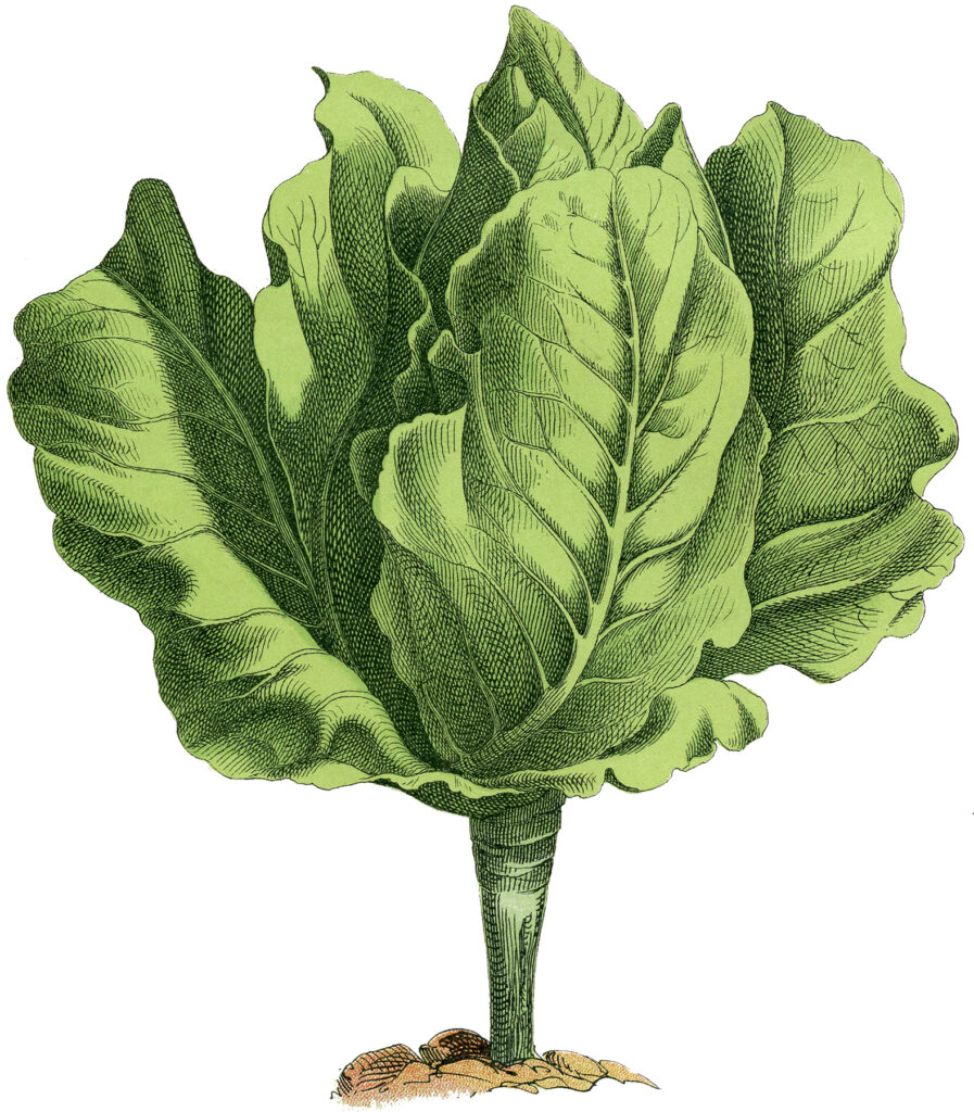 vintage lettuce garden clipart
