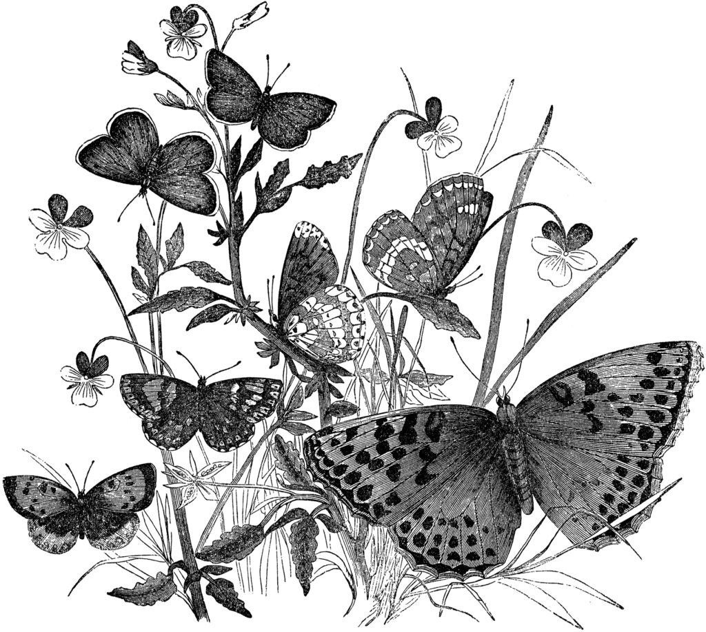 vintage butterfly black white clipart