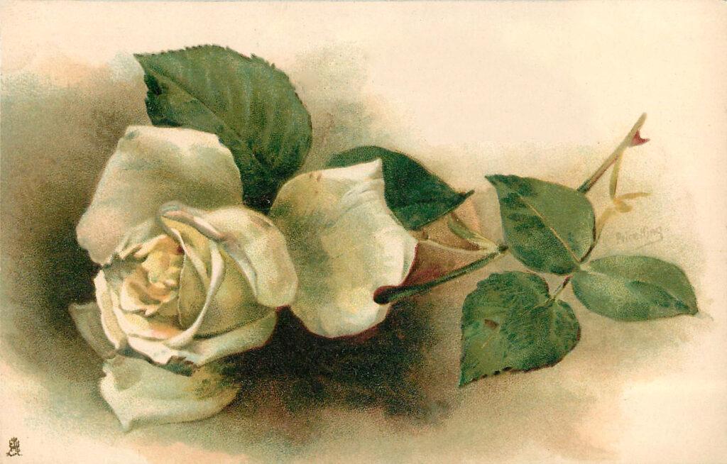 White Rose Postcard Image