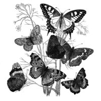 black white butterfly natural history image
