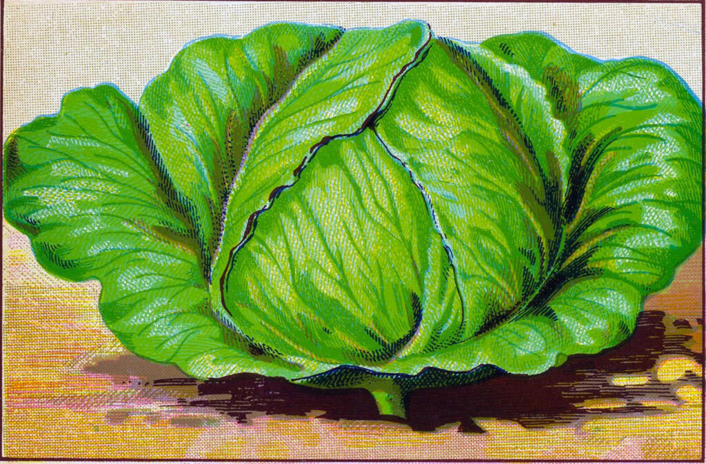vintage head cabbage illustration