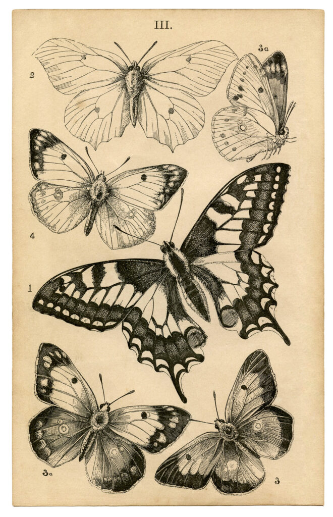 Antique Butterfly print image