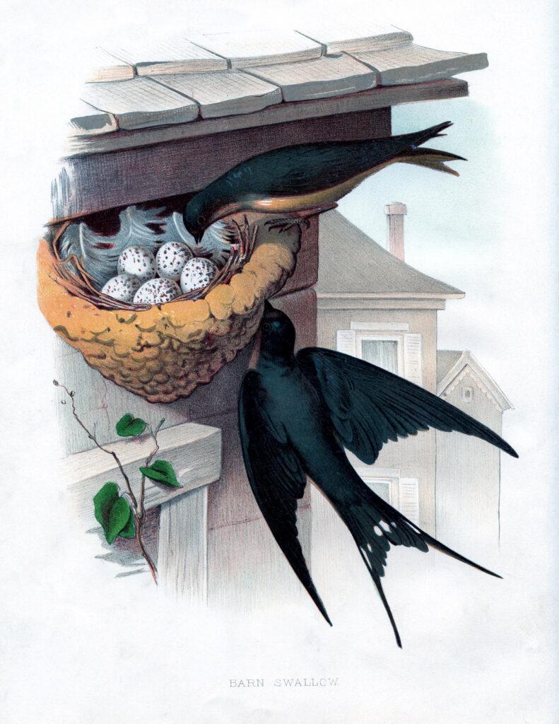 barn swallow bird nest clipart