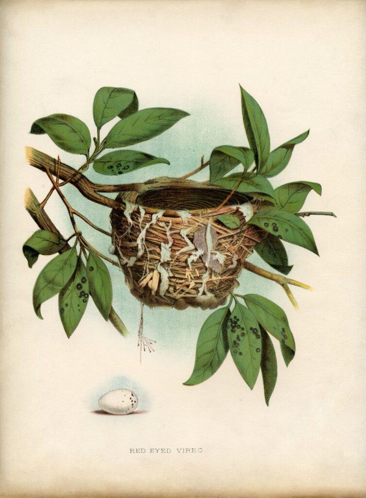 bird nest natural history printable image