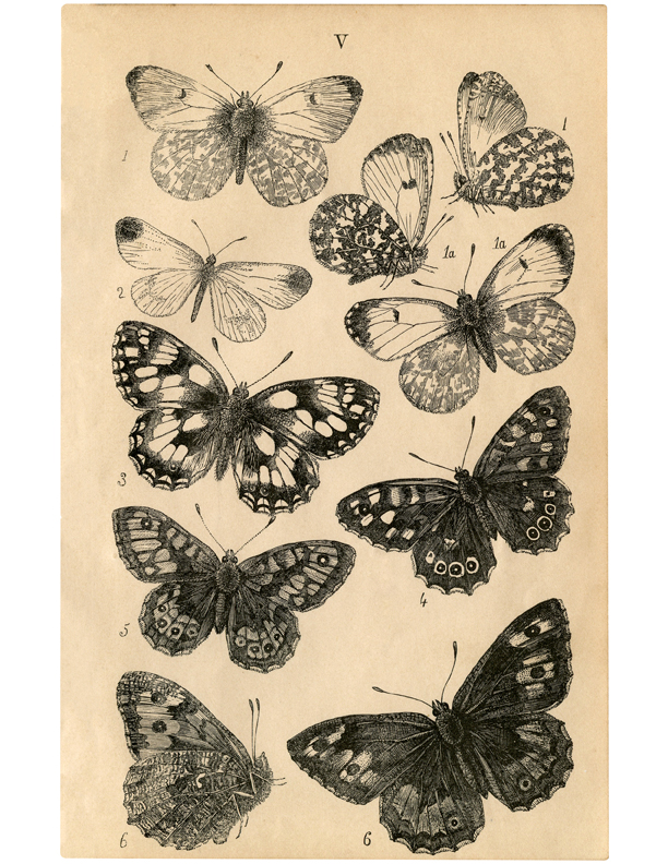 Butterflies Natural History illustration