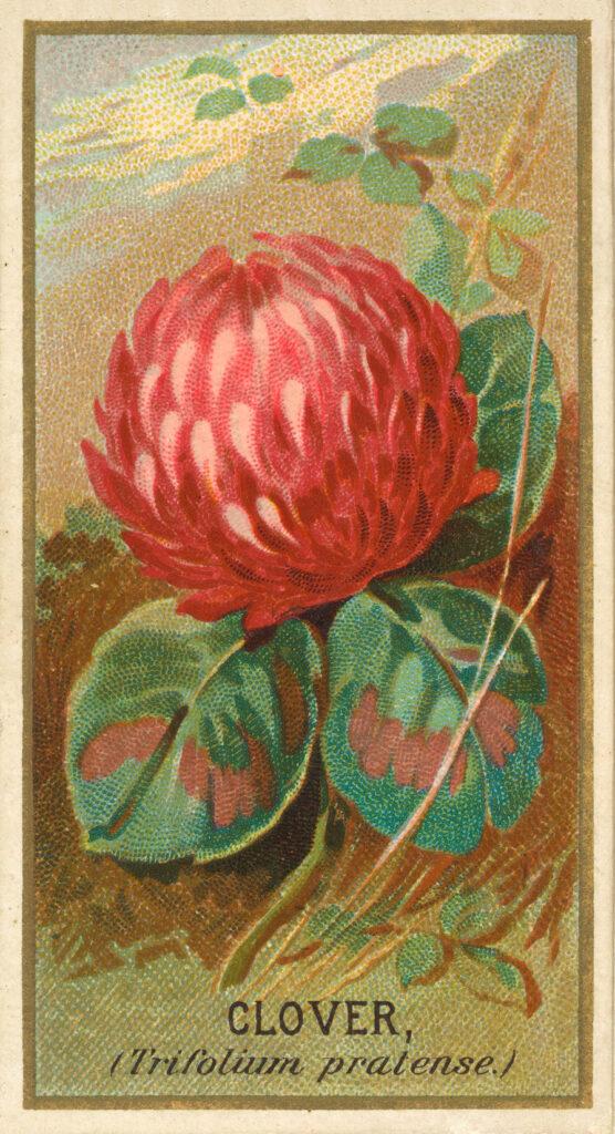 Clover Trade Card Image