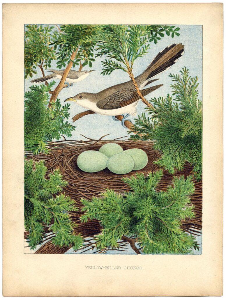 cuckow nest vintage image