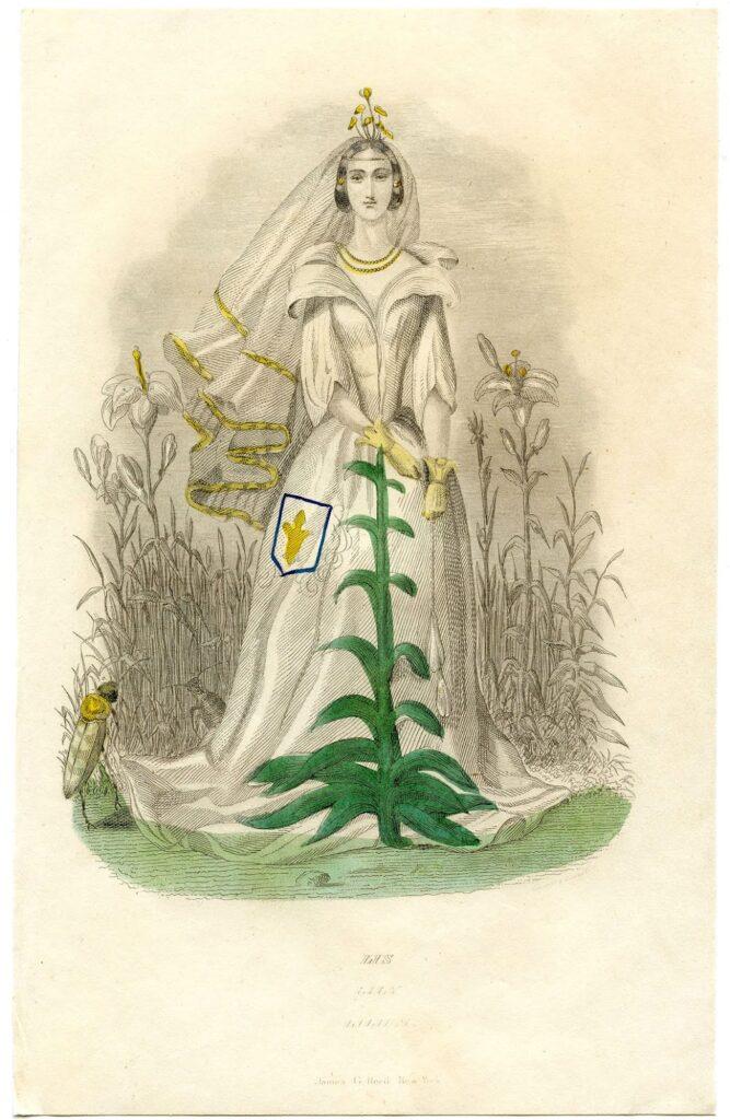 fairy bride lily vintage illustration