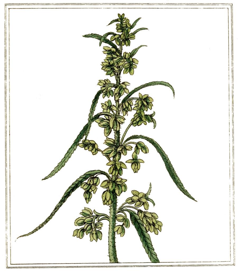 Hemp Plant Green Image