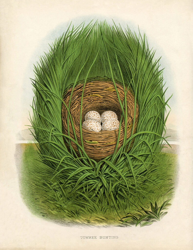 spring bird's nest eggs clipart