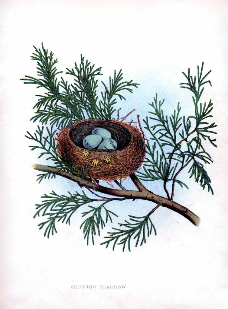 nest blue eggs pine branch illustration