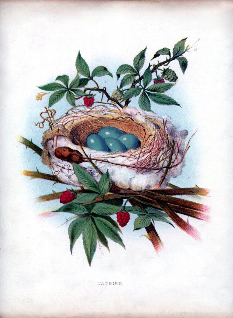 catbird nest blue eggs image