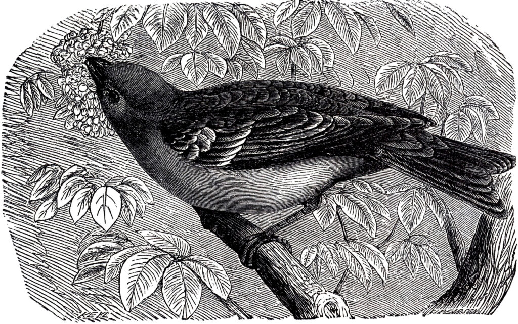 antique bird branch engraving image
