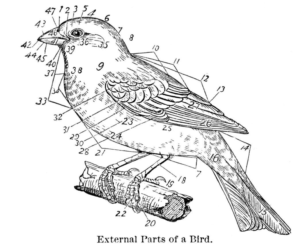bird parts natural history diagram image