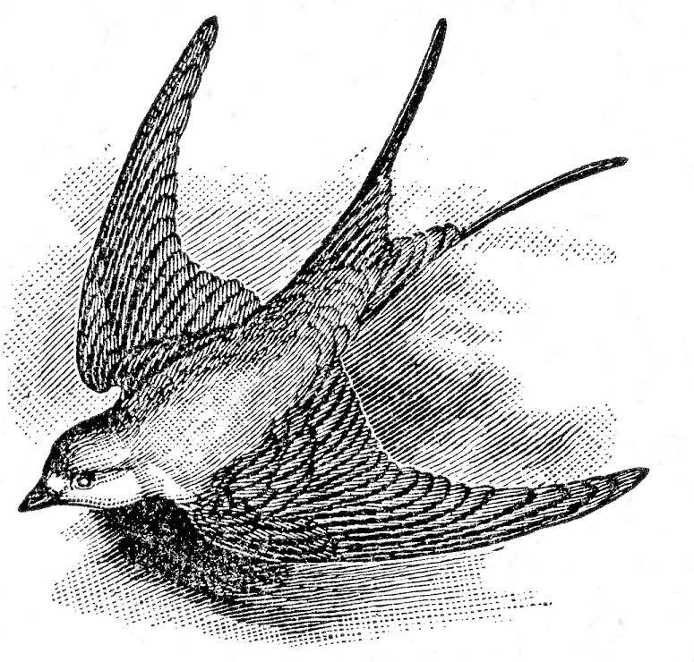 Bird Swallow Flying image