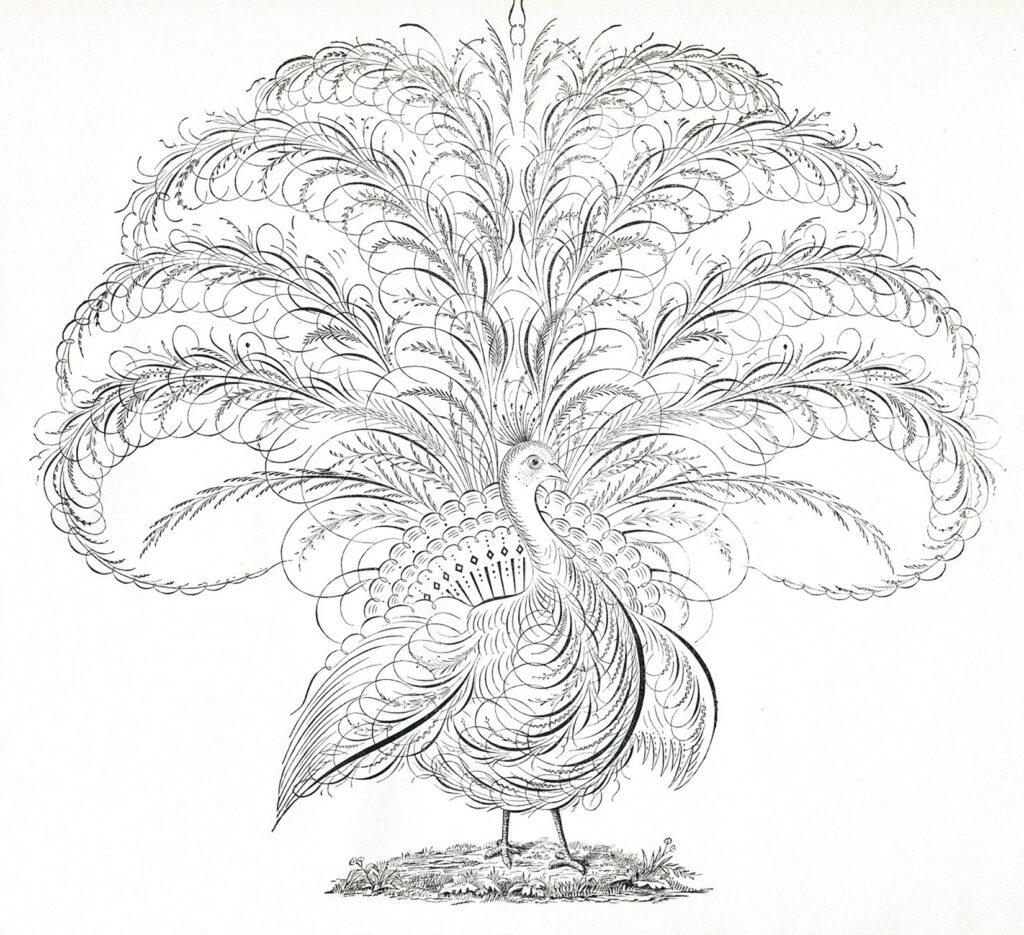 vintage peacock Spencerian clipart