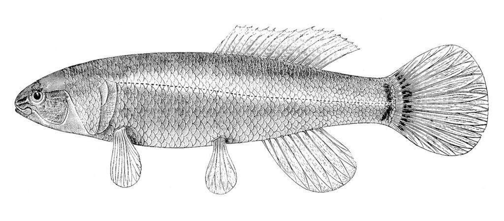 mud minnow fish illustration