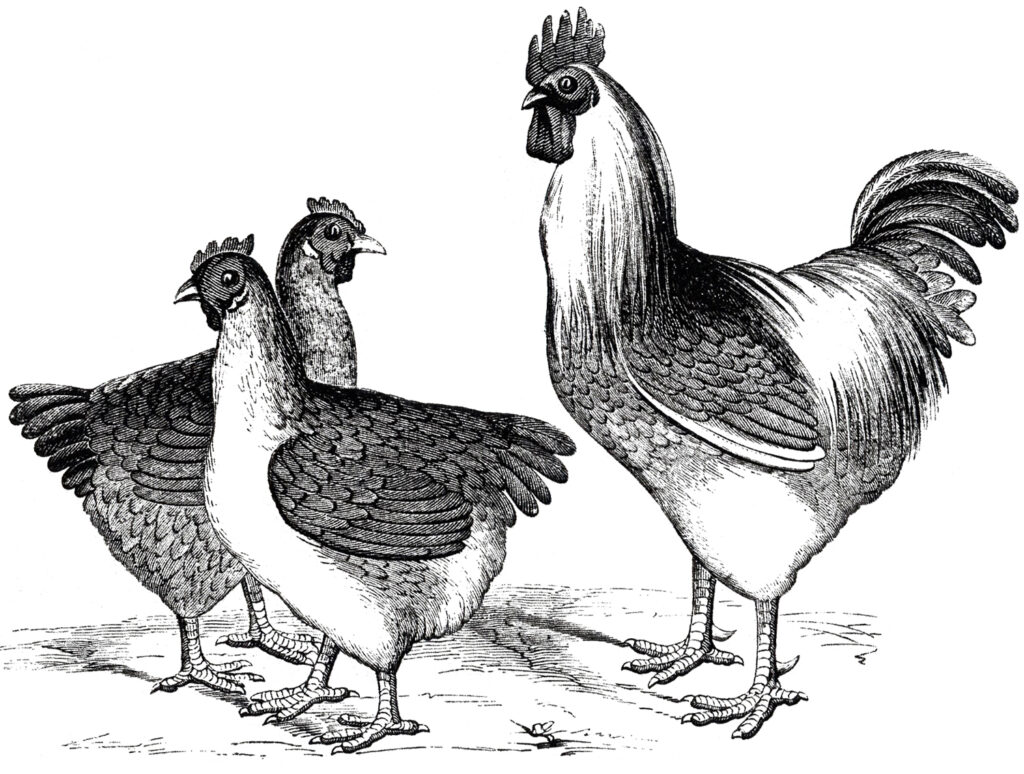 vintage chicken black white clipart