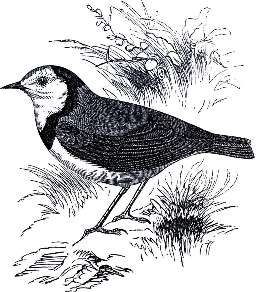 vintage bird grass image