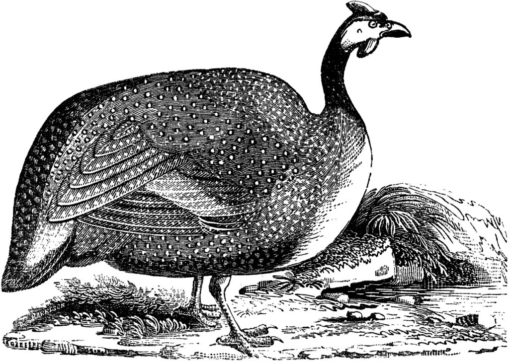 vintage guinea fowl illustration