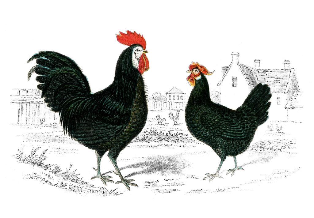 vintage rooster hen image