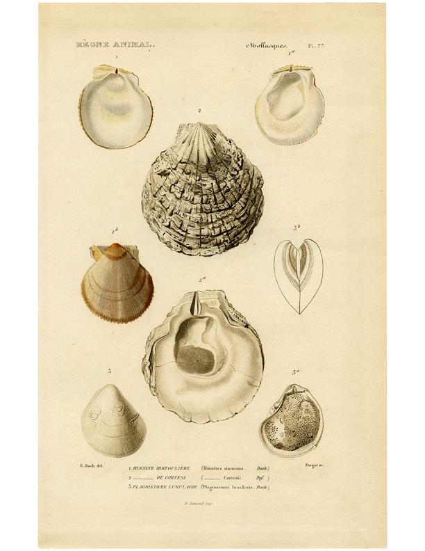 vintage seashells printable clipart