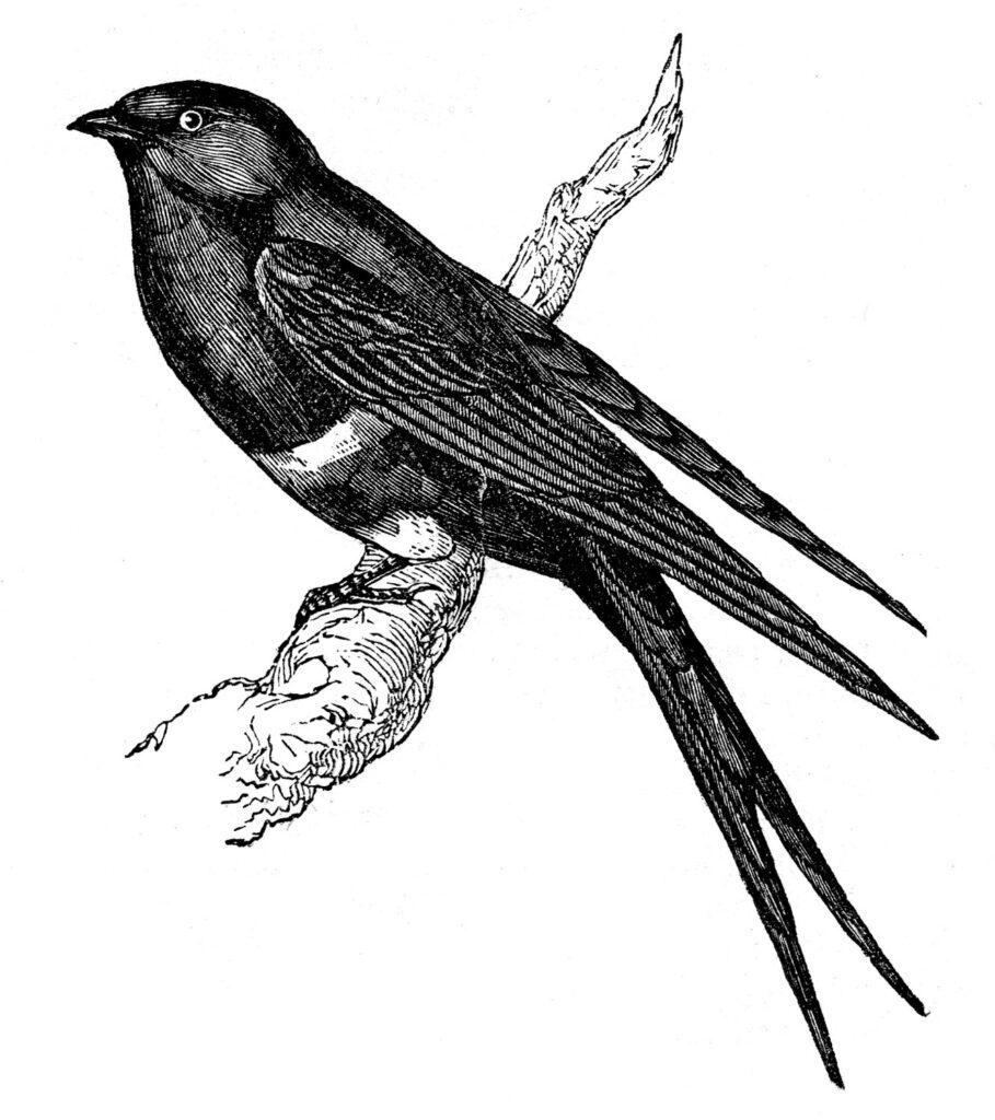 Swallow bird branch clipart