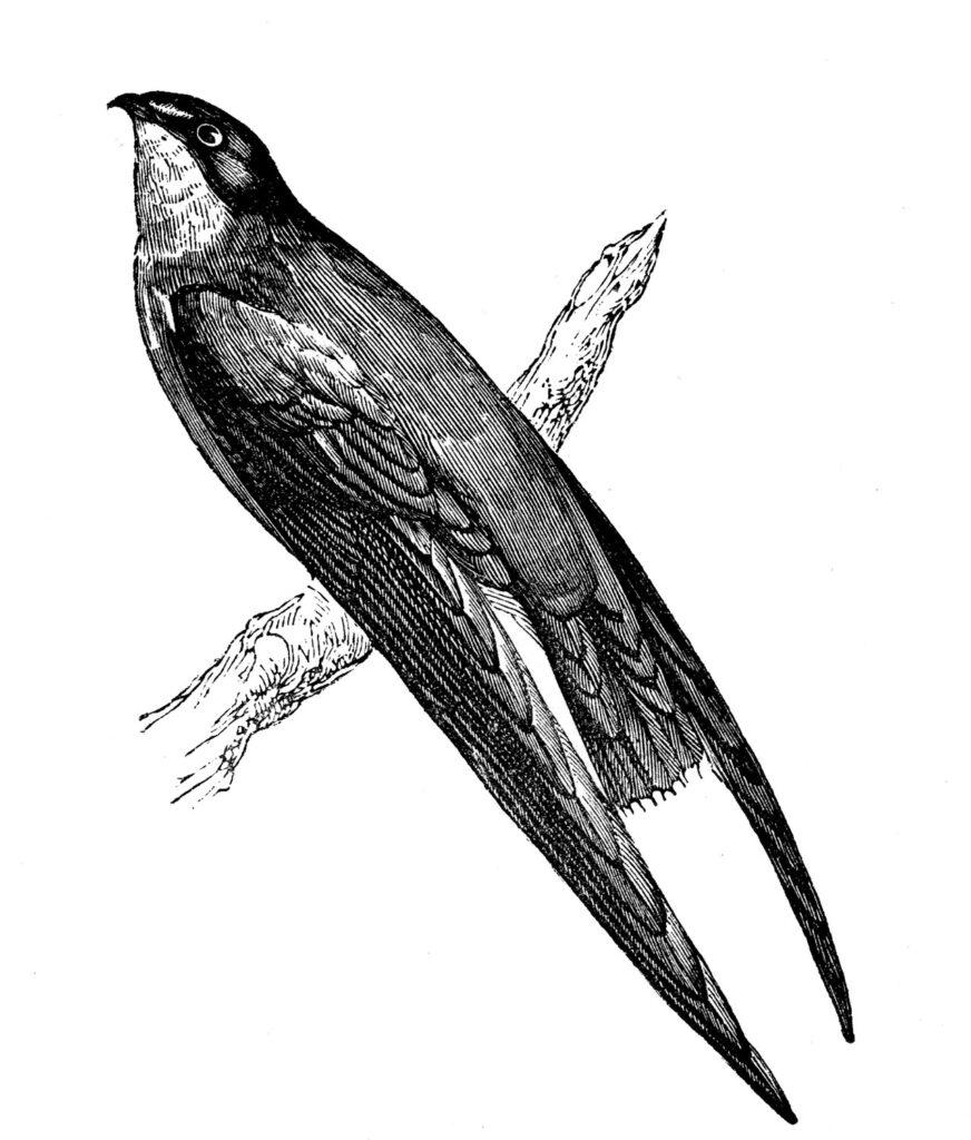 vintage Swift bird perching image