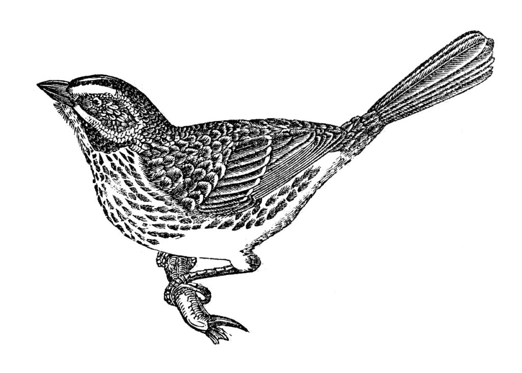 bird twig vintage clipart
