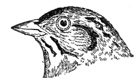 vintage bird head illustration