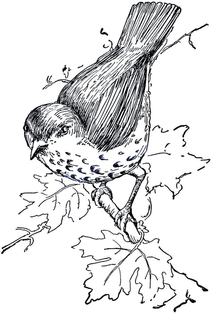 Thrush bird tree branch clipart