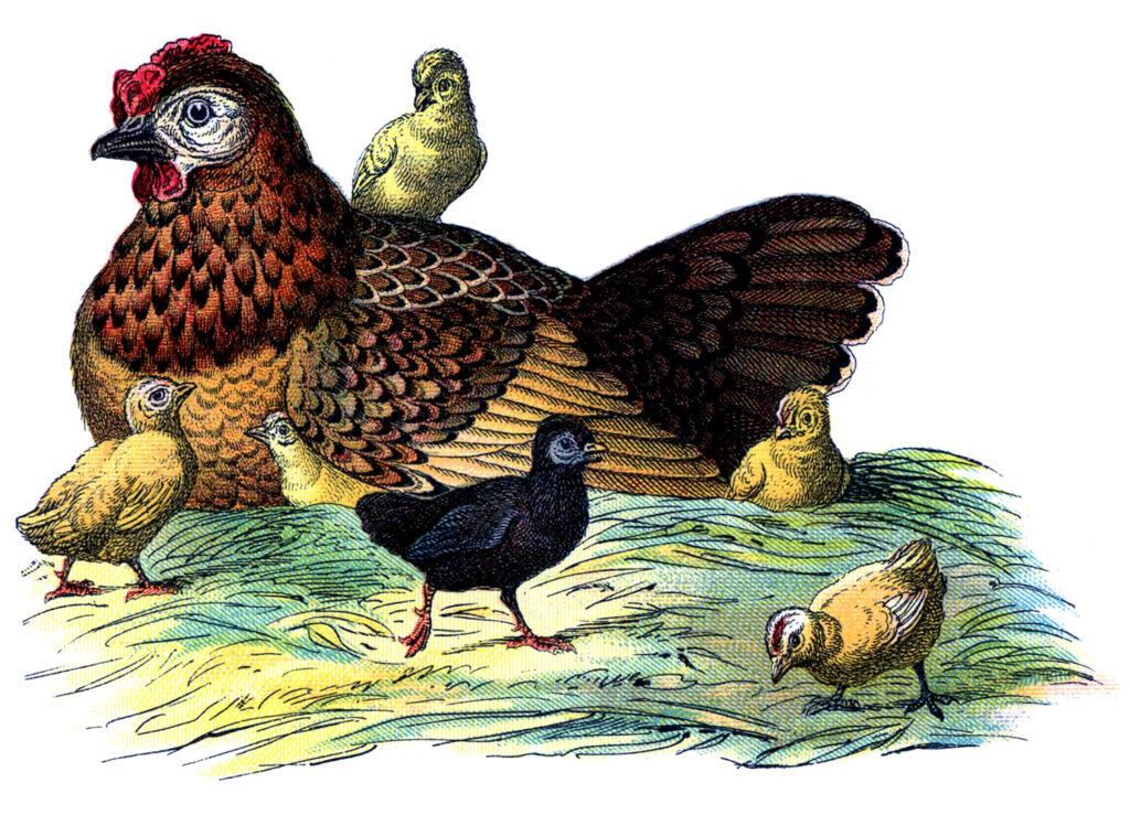 hen chicks vintage image