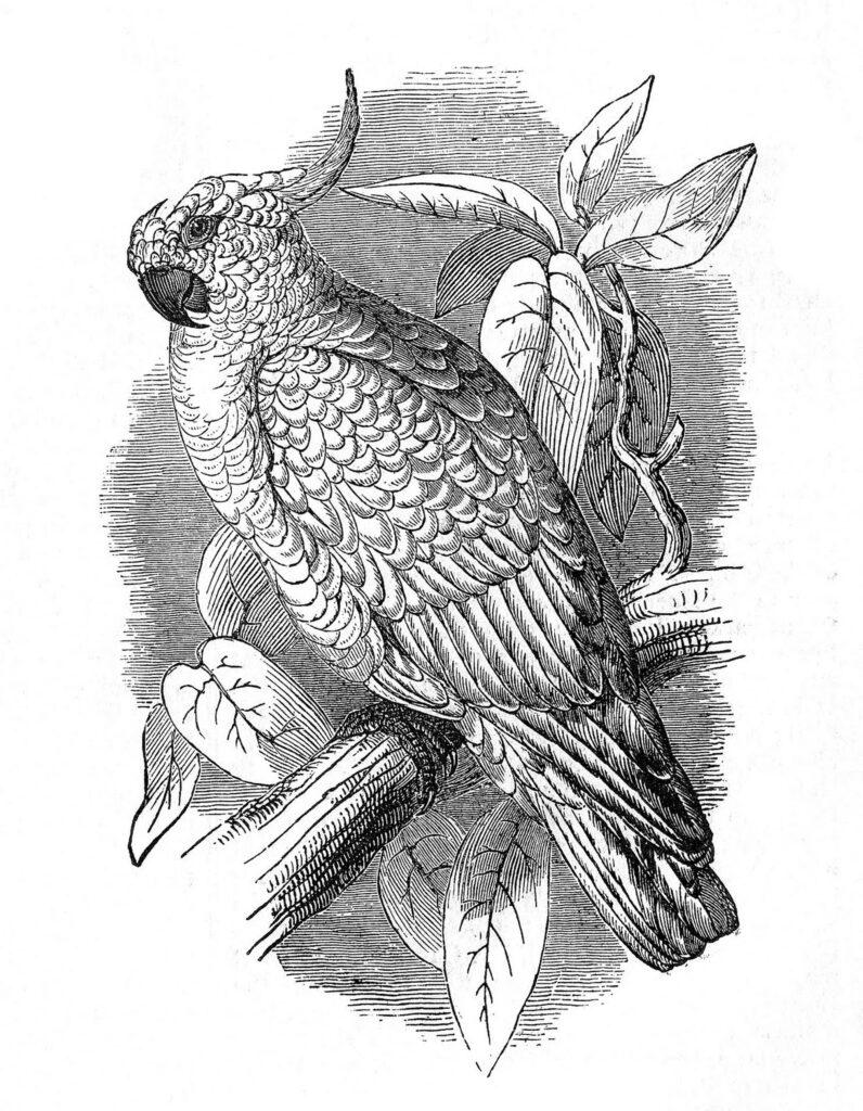 cockatoo vintage engraved image