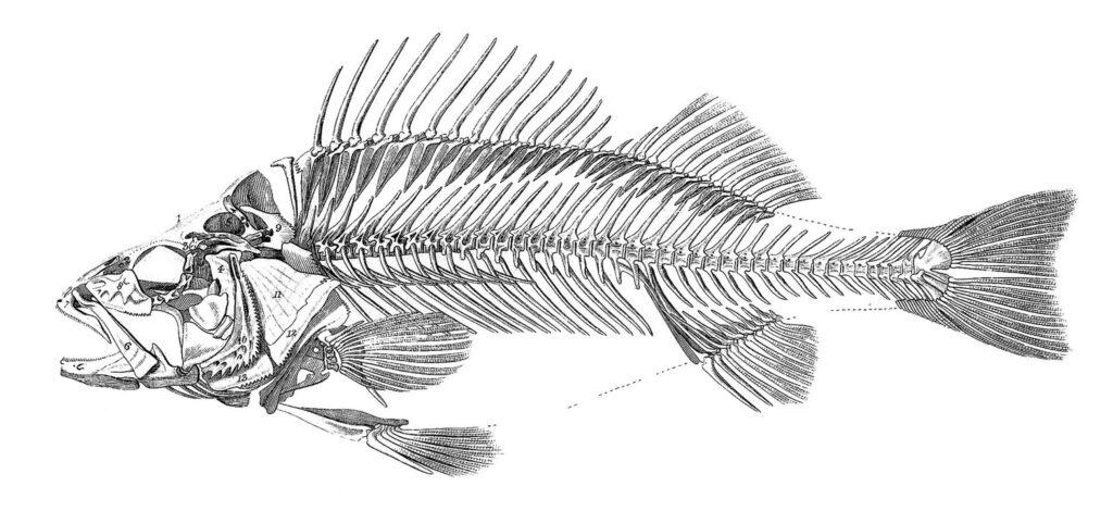fish skeleton image