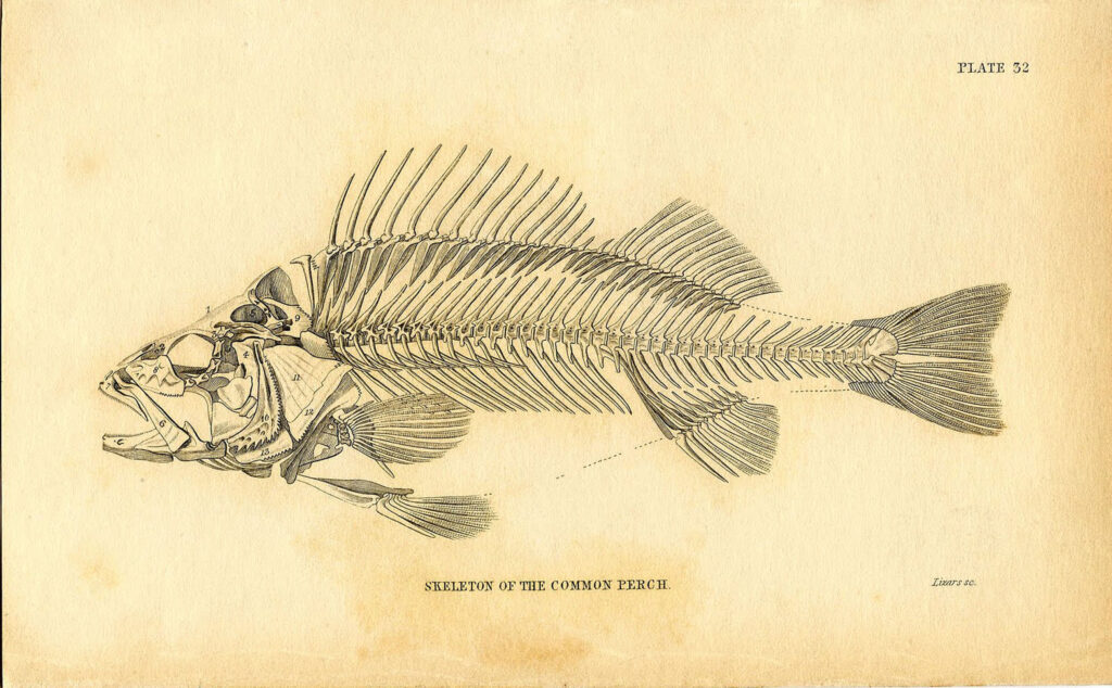 natural history fish skeleton illustration