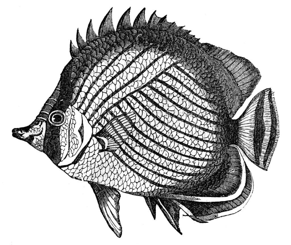 black white tropical fish image