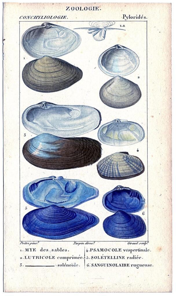 blue seashells illustration
