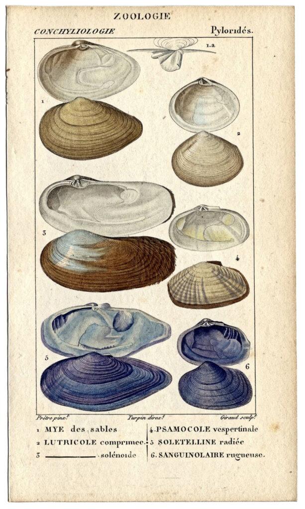 French seashell natural history print image