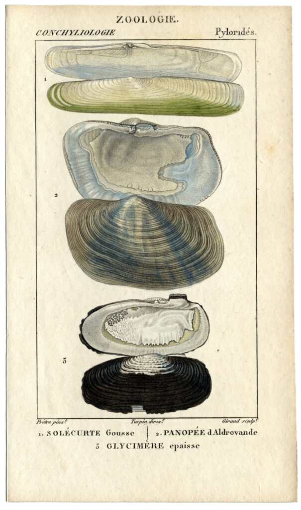 seashells natural history print clipart