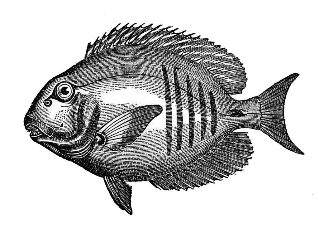 vintage black white fish image
