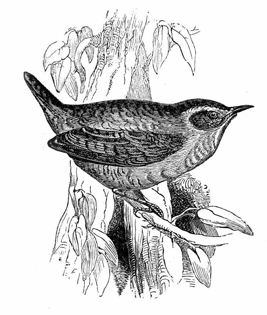 Wren bird perched branch clipart