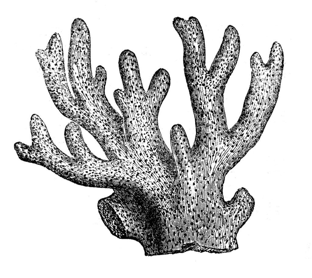 black white coral clipart