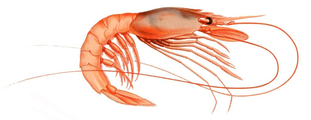 Pink Shrimp Image