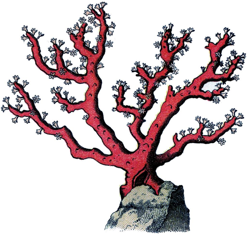 Vintage red coral illustration