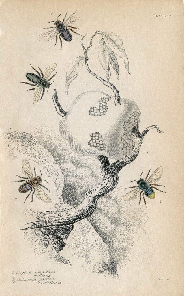 vintage bees honey natural history print image